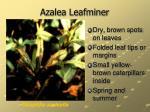 azalea leafminer