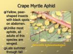 crape myrtle aphid34