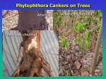 phytophthora cankers on trees