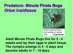predators minute pirate bugs orius insidiosus