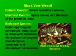 black vine weevil18
