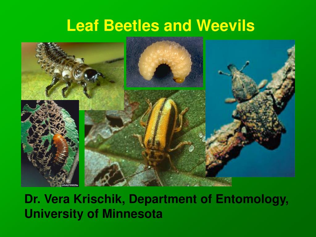 leaf beetles and weevils l.