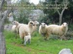 danas je australija na drugom mestu u svetu po broju ovaca i najve i je svetski proizvodja vune