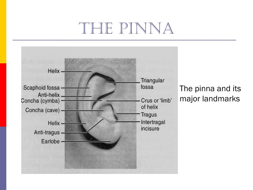 The pinna