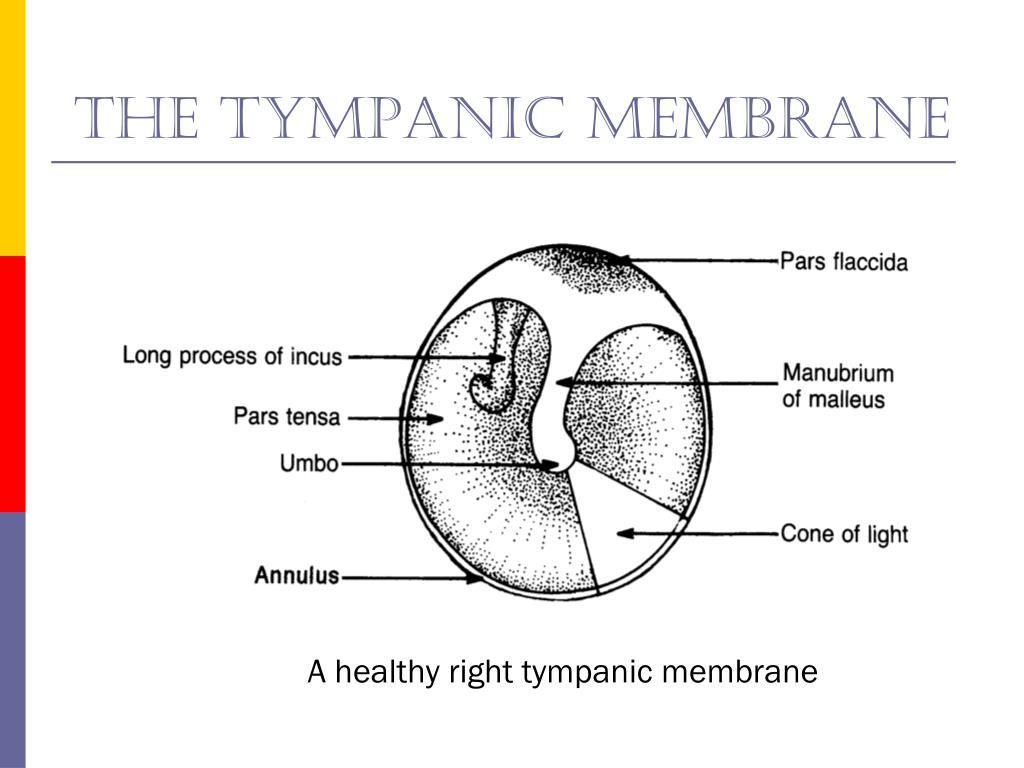 The tympanic membrane