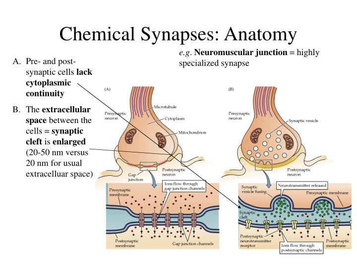 PPT - Chemical and Electrical Synapses PowerPoint Presentation - ID ...