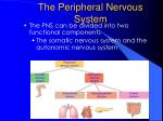 the peripheral nervous system42