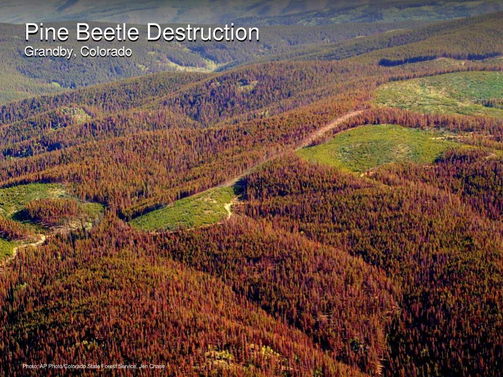 Pine Beetle Destruction