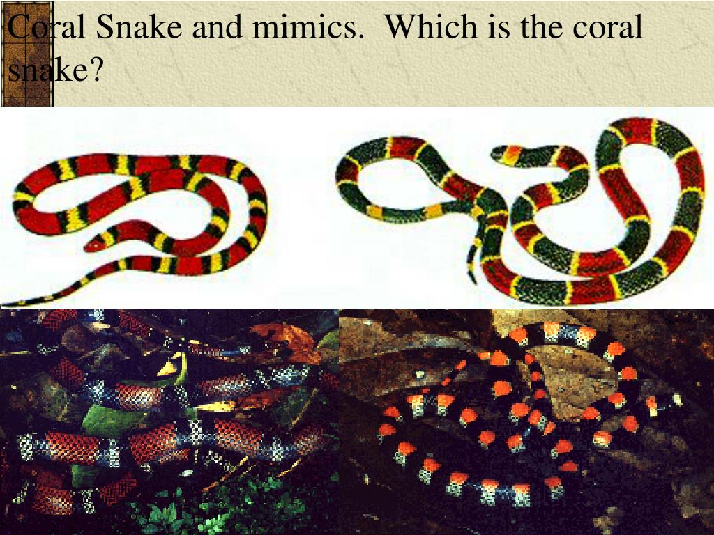 Coral Snake and mimics.  Which is the coral