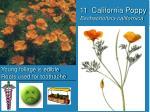 11 california poppy eschscholtzia californica