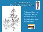 13 mexican tea chenopodium ambrosioides