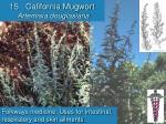 15 california mugwort artemisia douglasiana