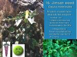 16 jimson weed datura meteloides