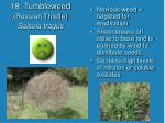 18 tumbleweed russian thistle salsola tragus