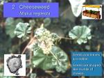 2 cheeseweed malva neglecta