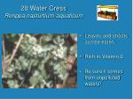 20 water cress rorippa nasturtium aquaticum