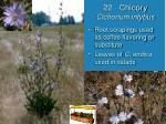 22 chicory cichorium intybus