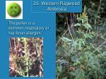 23 western ragweed ambrosia