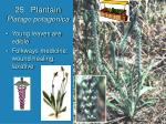 25 plantain platago potagonica