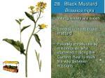 28 black mustard brassica nigra