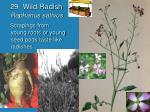 29 wild radish raphanus sativus