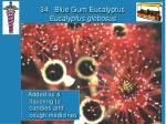 34 blue gum eucalyptus eucalyptus globosus