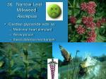 36 narrow leaf milkweed asclepias