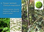 6 poison hemlock comium maculatum