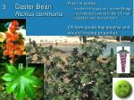castor bean ricinus communis