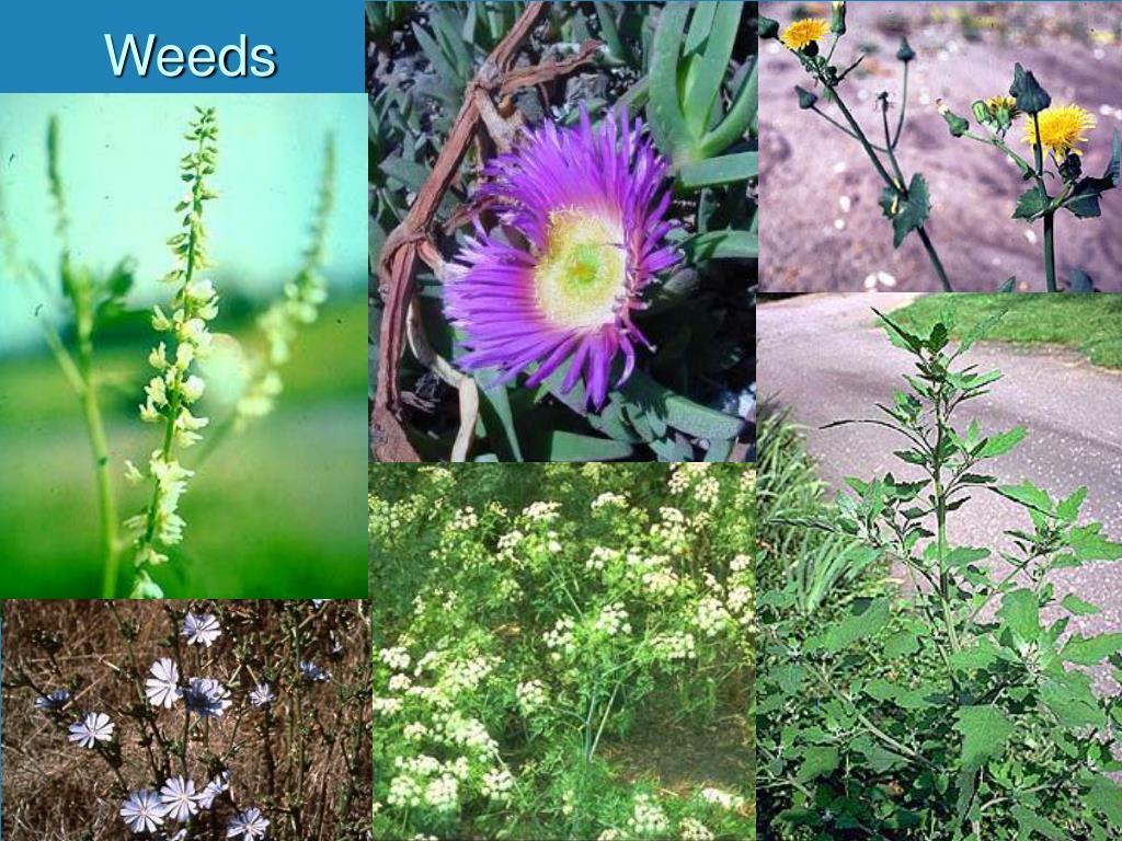 weeds l.