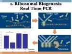 1 ribosomal biogenesis real time pcr