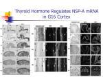 thyroid hormone regulates nsp a mrna in g16 cortex