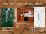 red alder alnus rubra betulaceae