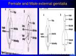 female and male external genitalia