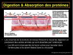 digestion absorption des prot ines