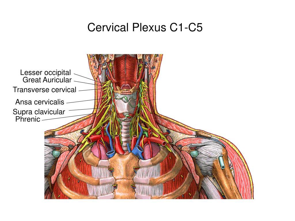cervical plexus c1 c5 l.