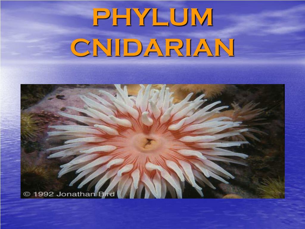 phylum cnidarian l.