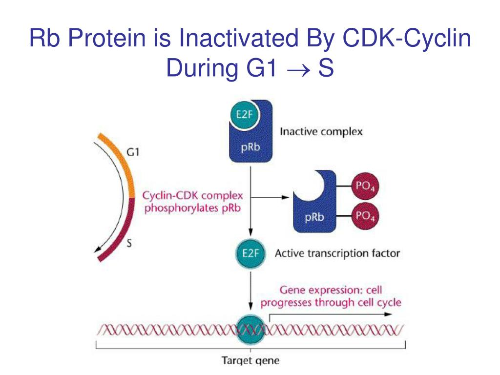 Rb Protein is Inactivated By CDK-Cyclin During G1
