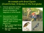 an example with great egrets ciconiiformes ardeidae in the everglades2
