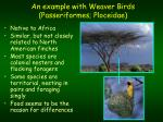 an example with weaver birds passeriformes ploceidae