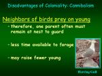 disadvantages of coloniality cannibalism