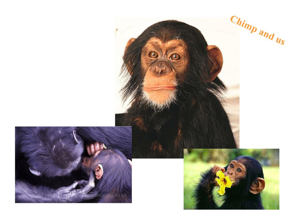 Chimp and us