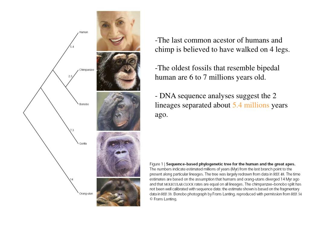 The last common acestor of humans and chimp is believed to have walked on 4 legs.