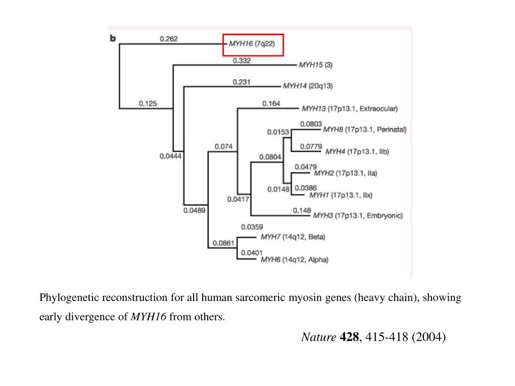 Phylogenetic reconstruction for all human sarcomeric myosin genes (heavy chain), showing early divergence of