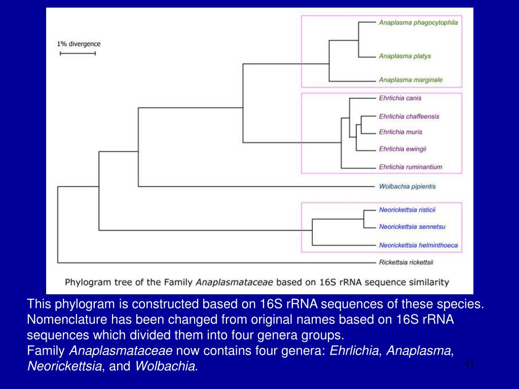 This phylogram is constructed based on 16S rRNA sequences of these species. Nomenclature has been changed from original names based on 16S rRNA sequences which divided them into four genera groups.