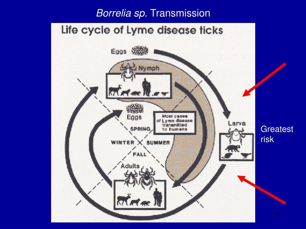 Borrelia sp.