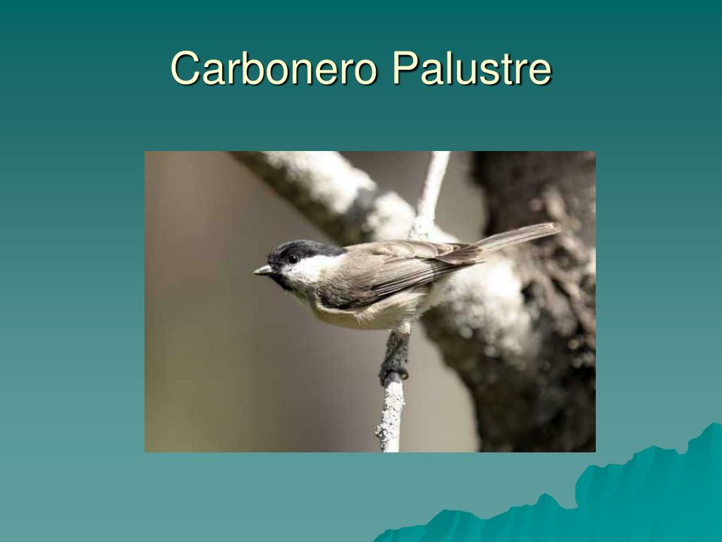 Carbonero Palustre