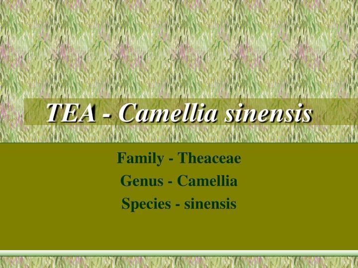 tea camellia sinensis n.