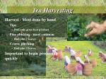 tea harvesting