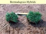 bermudagrass hybrids37